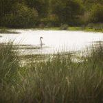 Swan on the wetlands