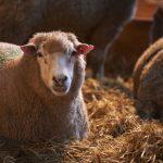 Lambing 10