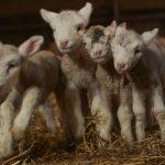 Lambing 4