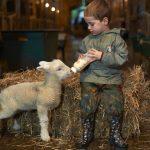 Lambing 5