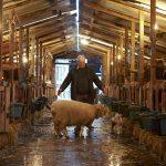 Lambing 7