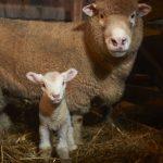 Lambing 8