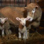 Lambing 9