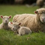 The-Olde-House_Lambs-1