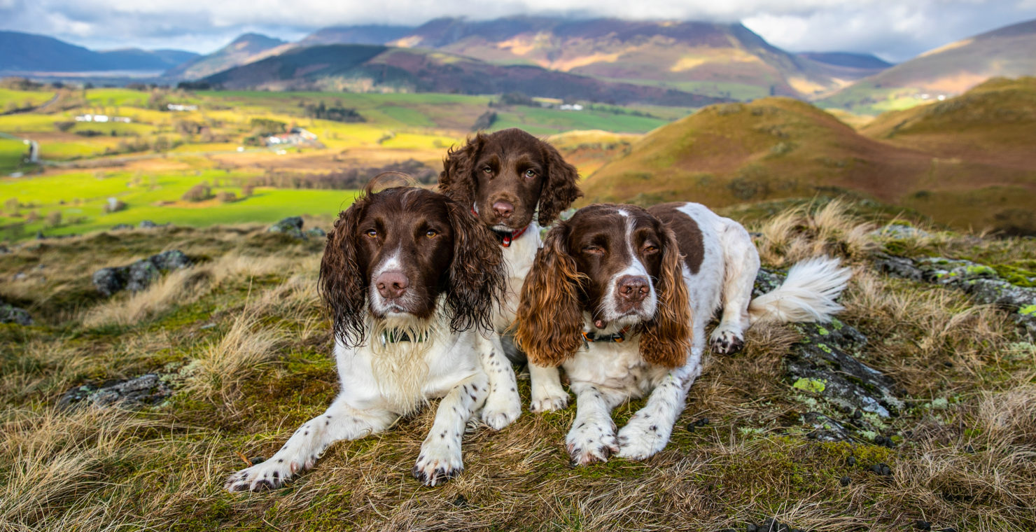 Celebrity spaniels to stage charity walk at The Headland
