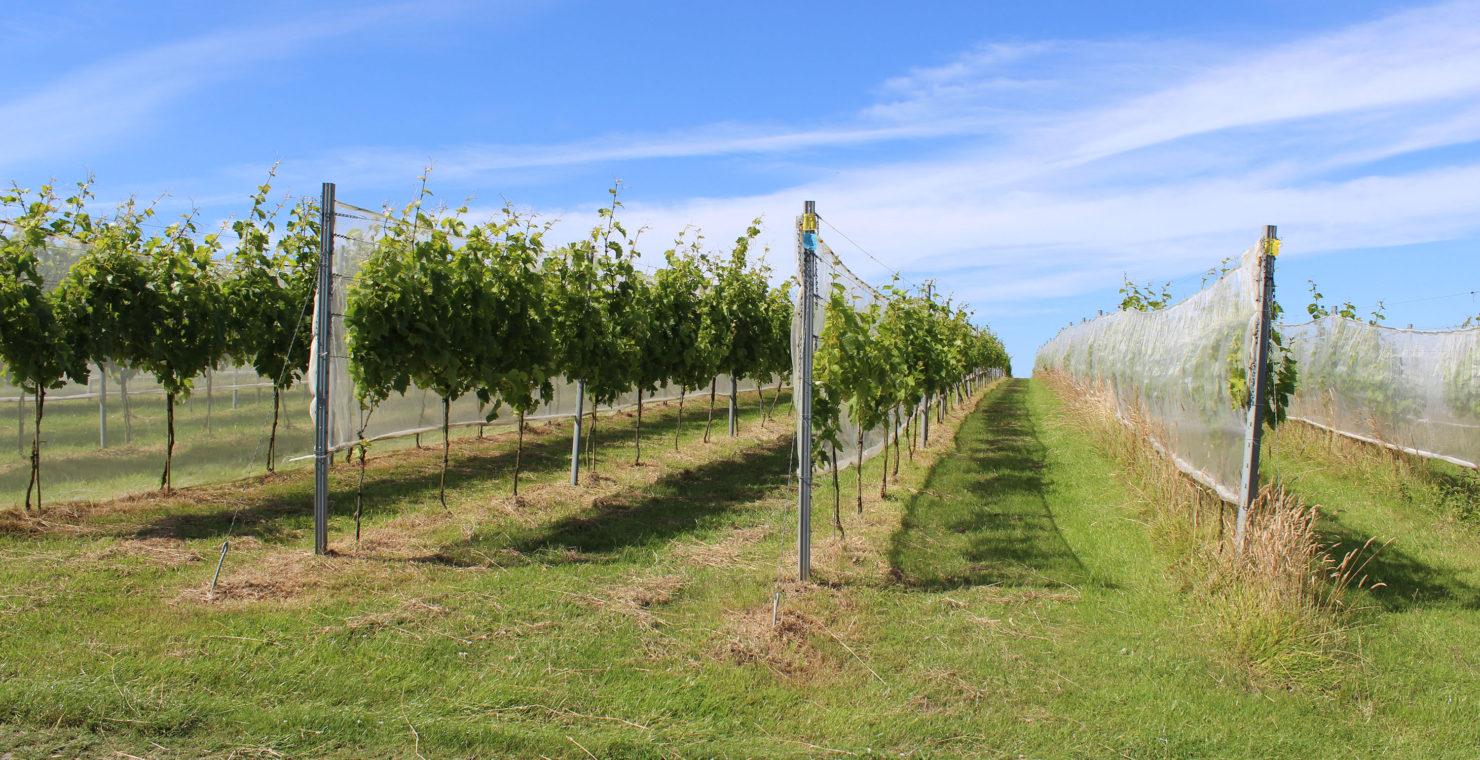 Scorching summer sparks award-winning wine