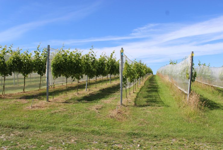 The vineyard at Trevibban Mill in north Cornwall, near Padstow. Lucy Thorman