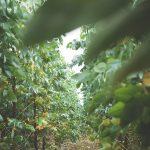 Eucalyptus saplings at Wildwood.
